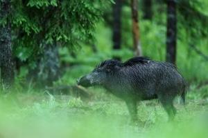 Wildtieren droht kein Bußgeld, sollten sie Pilze sammeln und fressen.